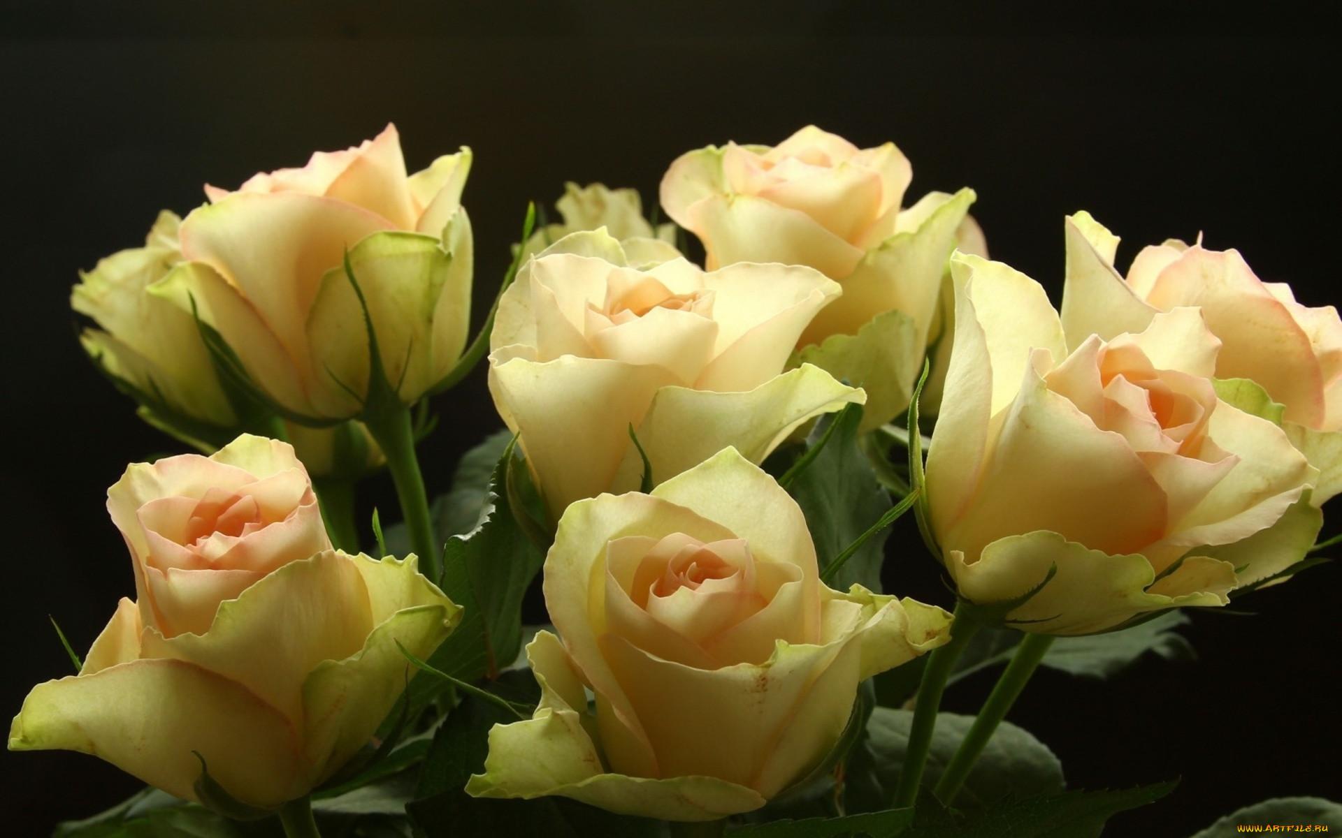 Добрый вечер картинки с цветами из кремовых роз